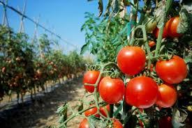 टमाटर की खेती  कैसे की जाती है ( tomato farming )