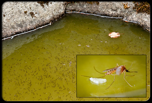 मच्छरों से होने वाले रोग- डेंगू, मलेरिया ( machro se hone wali bimariyan )