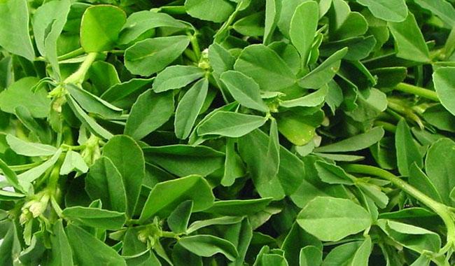 सीखे मेथी की खेती कैसे की जाए ( fenugreek cultivation )