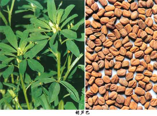 fenugreek-seed3