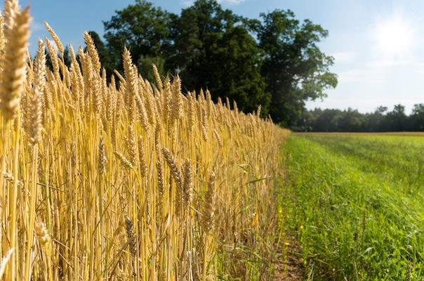 Edge of a Wheat Field, near Forest, grassy Path. Shallow DOF.