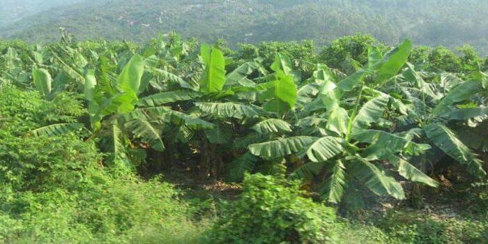 केला खाने से ही फायेदा नहीं उसकी खेती से भी बहुत लाभ है ( benefits of banana farming )