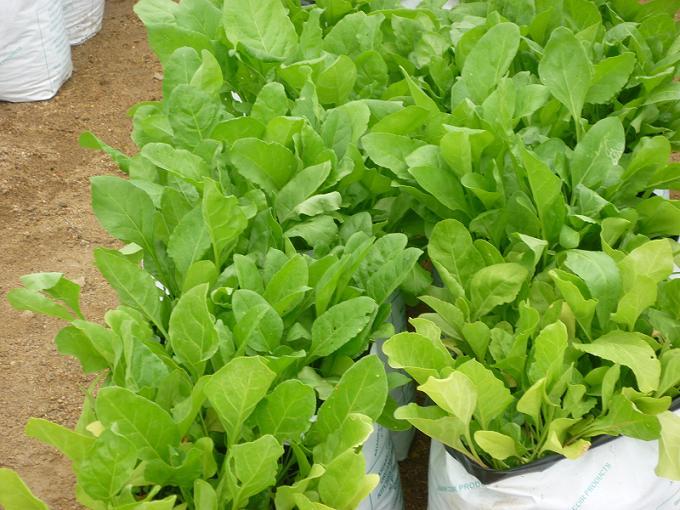 palak-greens