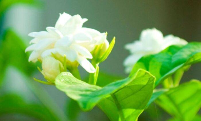 चमेली के फुल में है ये 10 फायेदे ( health and chameli benefits in lhealthtips )