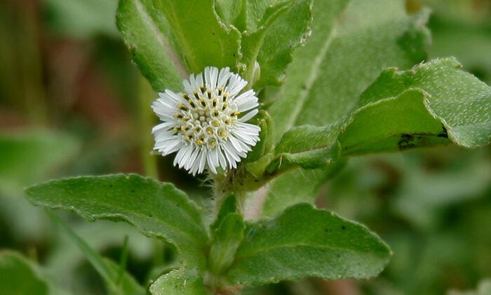 भृंगराज  छोटा सा पौधा है,पर इसके गुण जानकर रह जायंगे दंग ( bhringraj benefits )