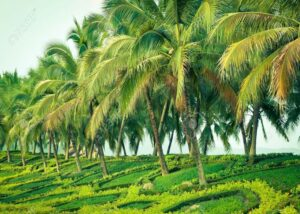 coconut-tree-5694b9f30e089_l