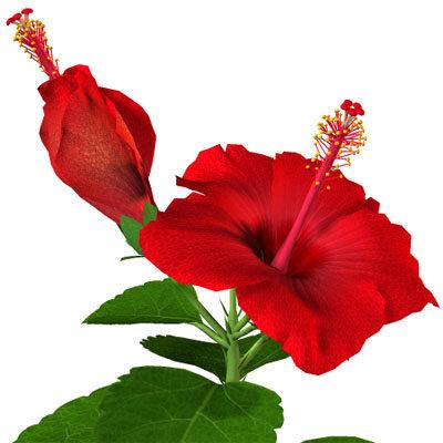 hibiscus-21