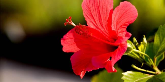 hibiscus-flower-under-the-sun-650x325