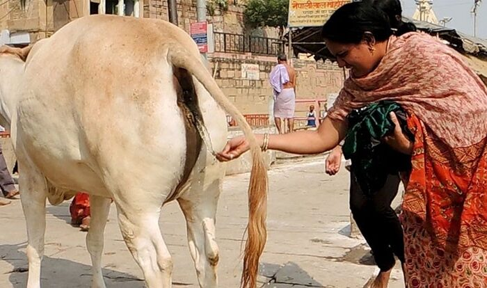 Image result for गौमूत्र