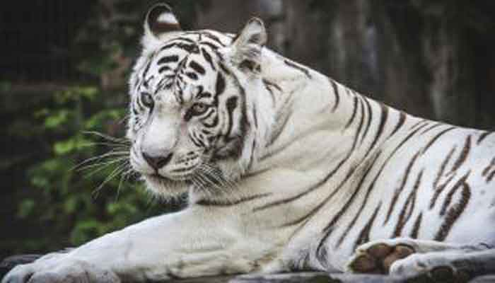 108002-white-tiger-safari-madhya-p
