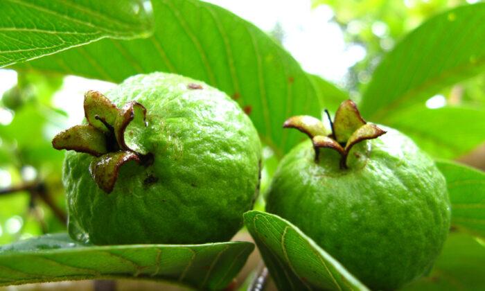 अमरुद के अचूक 15 औषधिक लाभ जानिए ( benefits of guava )