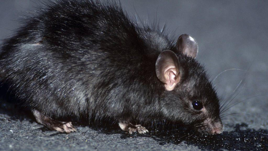 _81191145_c0052203-black_rat_rattus_rattus_-spl