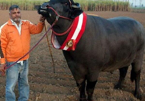 करोड़ो का है ये भैंसा जिसने कर दिया अपने मालिक को मालामाल ( nine ofe caror buffalo )