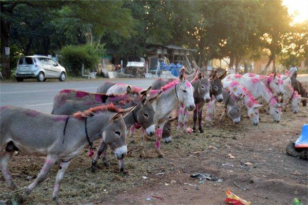 यहाँ लगता है गधो का मेला ( donkeys fair )