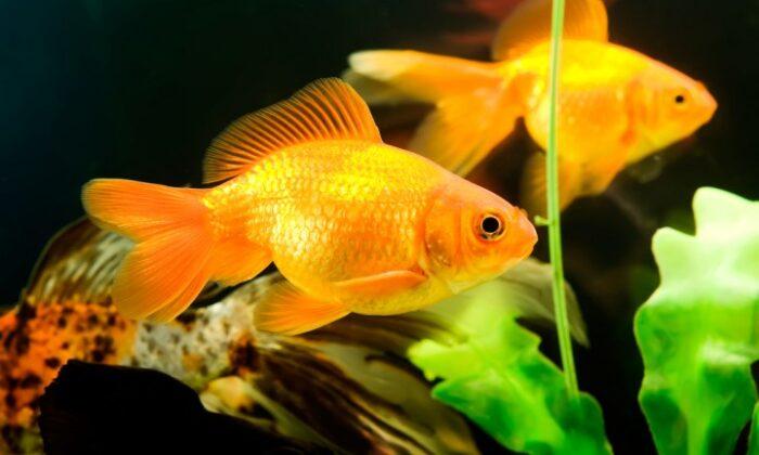 मछलियाँ लाएंगी मानसिक शांति और करेंगी परेशानियाँ दूर ( fish astrology amazing benefits of fish )