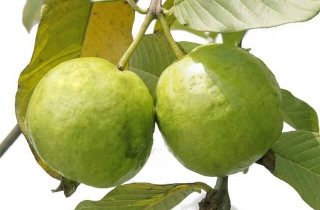 अमरुद की पत्तियों  के ऐसे फायदे जो आपने कभी सोचे भी नही होंगे ( amazing benefits of guava leafs )