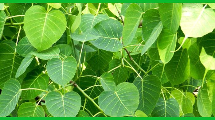 पीपल के पत्तो का करे सेवन और रहे स्वस्थ ( advantages of peeple leafs )