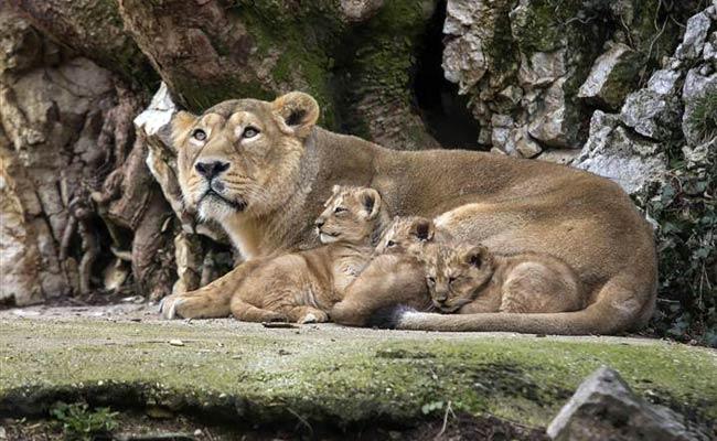 प्रकृति के प्रेमियों के लिए बढियां विकल्प है गिर राष्ट्रीय उद्यान ( the gir forest national park )