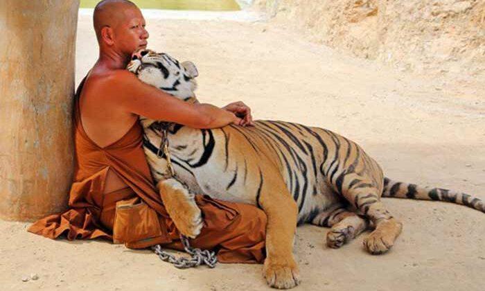 इस मंदिर में है 'टाइगरो' का राज ( amazing tiger temple in thailand )