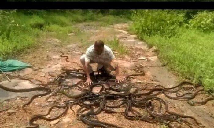 खतरों के खिलाड़ी जो खेल रहे है सैकड़ो सांपो से, देखे इस ख़तरनाक वीडियो को ( video snake catcher releases hundreds of venomous snakes in forest )