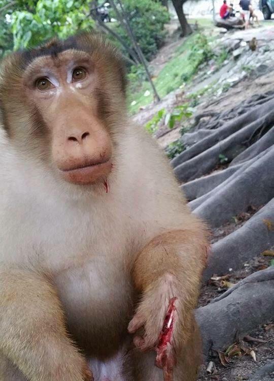 injured monkey
