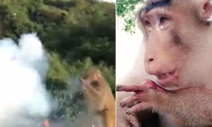 खाने का लालच दे बंदर को बम से उड़ाया, और लगाए ठहाके! हुआ वीडियो वायरल ( tourist throws plastic bag with firecrackers to hungry monkey firecracker exploded in monkey s hand )