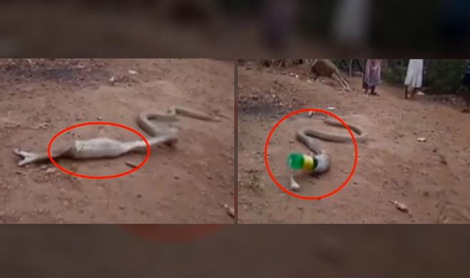 video of cobra snake vomiting a plastic bottle in goa