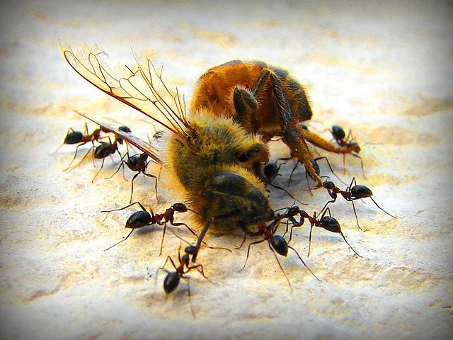 ants eats bee