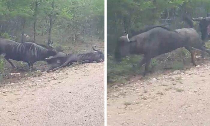 वीडियो देखे जरा: बारहसिंघा ने ऐसा किया ड्रामा जिसे देखकर आप भी हैरान रह जाएंगे ( wildebeest fakes death to survive viral video )