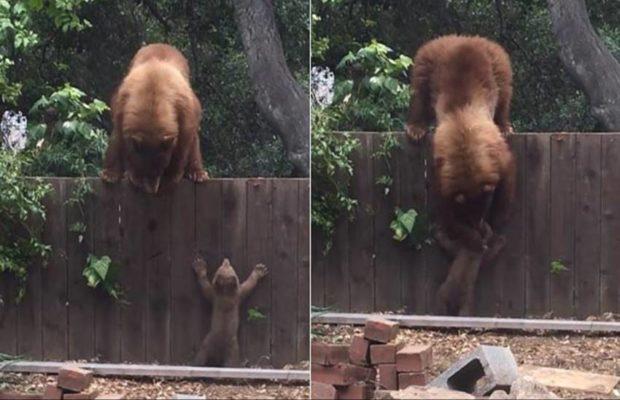 """""""माँ की ममता"""" जानवरों में भी होती है ये वीडियो इस बात को करता है साबित ( mama bear trying to help her little cub )"""