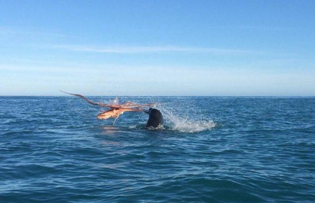 वीडियो: ऑक्टोपस ने जकड़ा विशाल सील को, तो हुआ ऑक्टोपस का बुरा हाल ( viral video seal fight with octopus in sea )