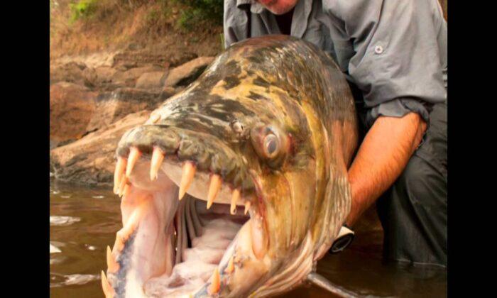 "वीडियो: समुद्री ""दानव मछली"" जो बनाती है ख़तरनाक मगरमच्छो को अपना शिकार ( sea monster goliath tigerfish )"