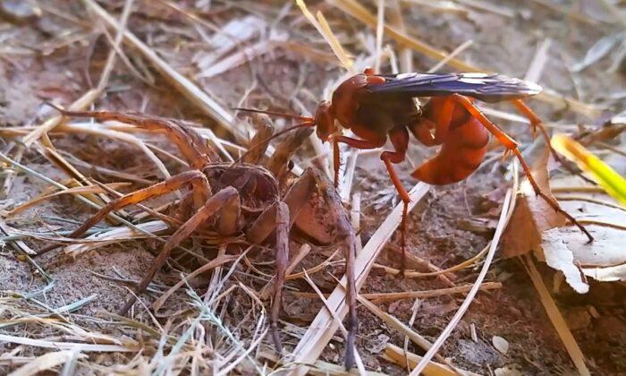 मकड़ी इतने संघर्ष के बावजूद भी बचने में नाकाम रही, वीडियो देखे ( viral video spider vs wasp in battal to the death )