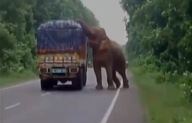 """दबंग हाथी"" ने बीच सड़क पर रोका ट्रक, वीडियो में जानें कारण ( elephant eats potatoes after stopping a truck loaded with potatoes in west midnapore on nh 60 video goes viral on twitter )"