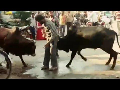 video : दुसरो के झगड़े में टांग अड़ाने पर,एक शख्स को मिली ऐसी सजा ( viral bullfight funny video )