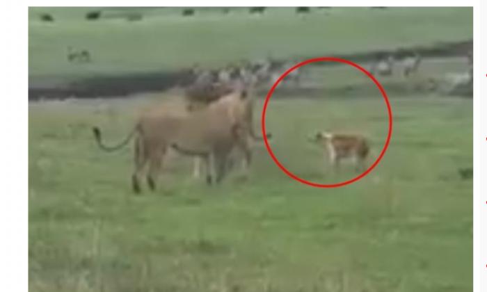 घायल कुत्ता जा भिड़ा जब शेर और शेरनी से तो हुआ फिर ये,वीडियो में देखे ( viral video the injured dog fight with lion and lioness )
