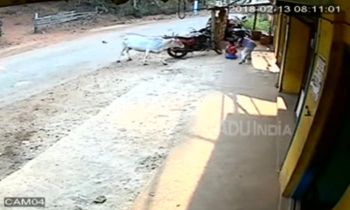 वीडियो : छोटे बच्चे पर किया गाय ने हमला, 8 साल की बच्ची ने दिखाई बहादुरी ( viral video 8year girl fight bravely with attacking cow to save brother in karnataka )