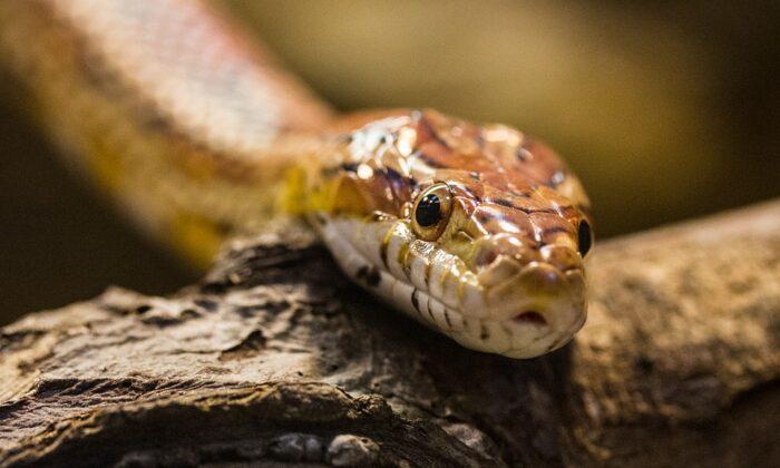 वीडियो: पायजामे में पैर डाला ही था, अचानक फुंकार की आवाज ने उड़ा दिए होश ( facebook viral video eastern brown snake in shorts inside a shower )