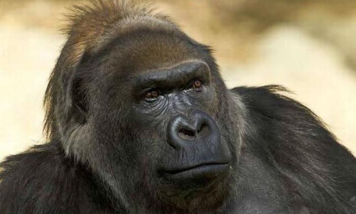 मटक-मटक कर चलते गोरिल्ले का वीडियो हुआ वायरल ( viral video gorilla walk on two legs in zoo )