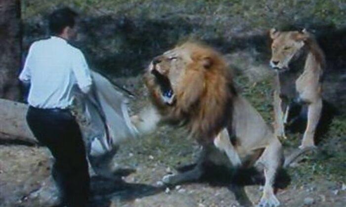 शेर ने किया खेलती बच्ची पर हमला, दिल देहला देने वाला वीडियो हुआ वायरल ( viral video tiger attack a girl )