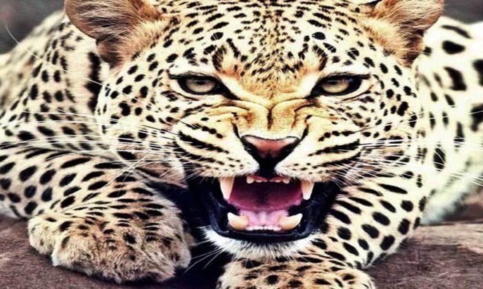 घर के अंदर बेख़ौफ़ घूम रहा था तेंदुआ, घूमते हुए सीसीटीवी पर हुआ कैद ( viral video leopard rescued from residential area in kailash colony ulhasnagar )