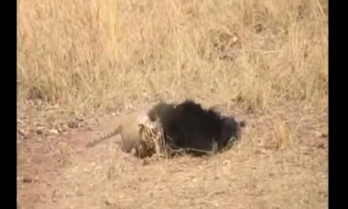 भालू ने किया बाघ पर आक्रमक हमला, वीडियो हुआ वायरल ( tense face off between tiger and bear caught on camera viral video )