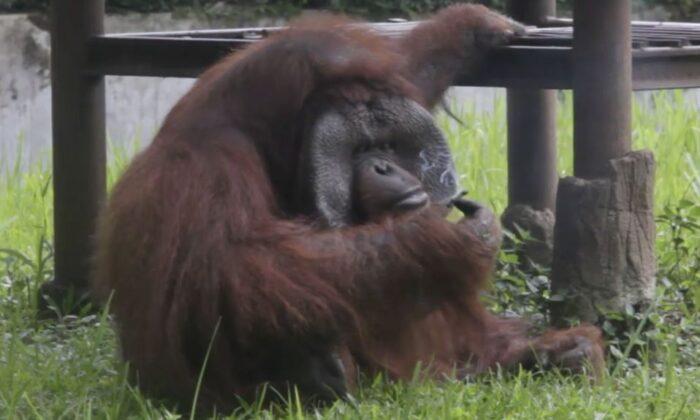 """वीडियो: ज़मीन से सिगरेट उठा, कश लेता """"दूसरी प्रजाति का बन्दर"""" ( viral video orang utan smoking cigarette at zoo )"""