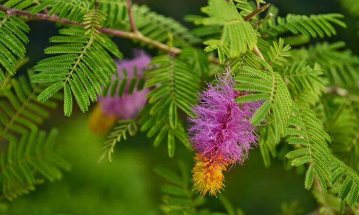 खूब मेहनत के बाद भी हो रहीं धन की कमी, तो लगाएं शमी का पौधा ( shami plant benefits its gives money and good wealth )