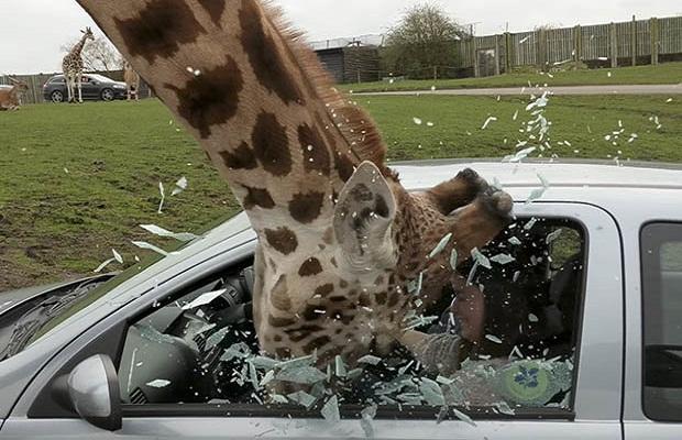 भूख से हुआ जिराफ का दिमाग खराब, कार का शीशा तोड़ निकाला खाना ( viral video giraffe smashes car glass britain safari )