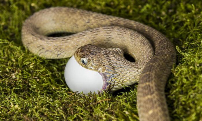 कोबरा ने एक के बाद एक उगले 6 अंडे, देखने वाले रह गए दंग ( video cobra spit out six eggs after swallowing 7 eggs in orissa )