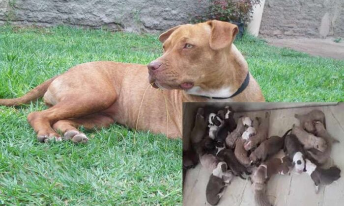 पिटबुल डॉगी ने 21 बच्चों को जन्म देकर बनाया वर्ल्ड रिकॉर्ड, एक पपी की कीमत हैरान कर देगी आपको ( pitbull doggy gave birth to 21 children to make a world record )