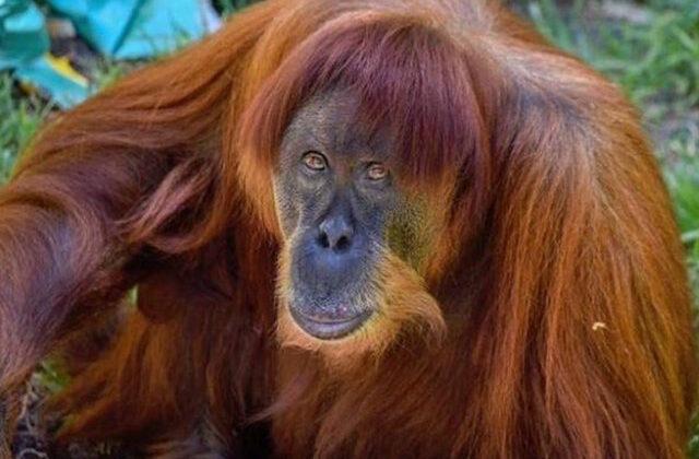 """दुनिया की सबसे उम्रदराज मादा """"वनमानुष"""" ओरांगुटान कह गई अलविदा ( viral video worlds oldest orangutan puan dies at western australia zoo )"""